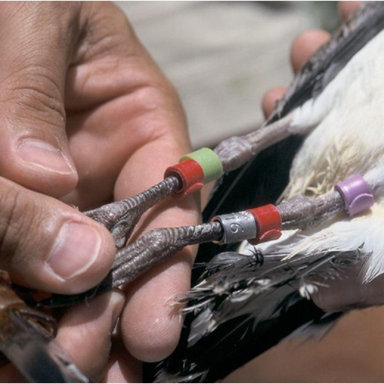 Baguage des oiseaux, à quoi ça sert ?