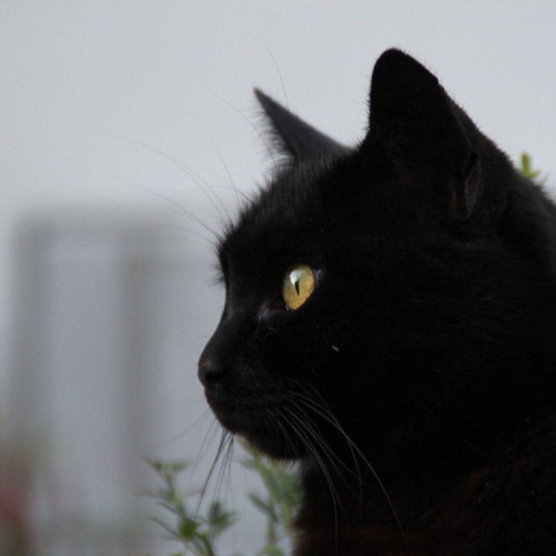 Les superstions liées aux chats dans nos mythes et légendes...