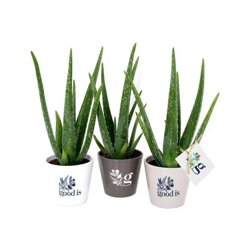 Plant Aloé Vera