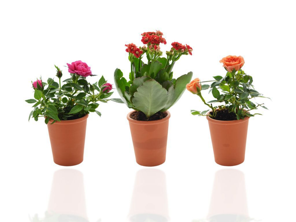 Plante publicitaire - Mini plante fleurie en pot Terre cuite 6 cm