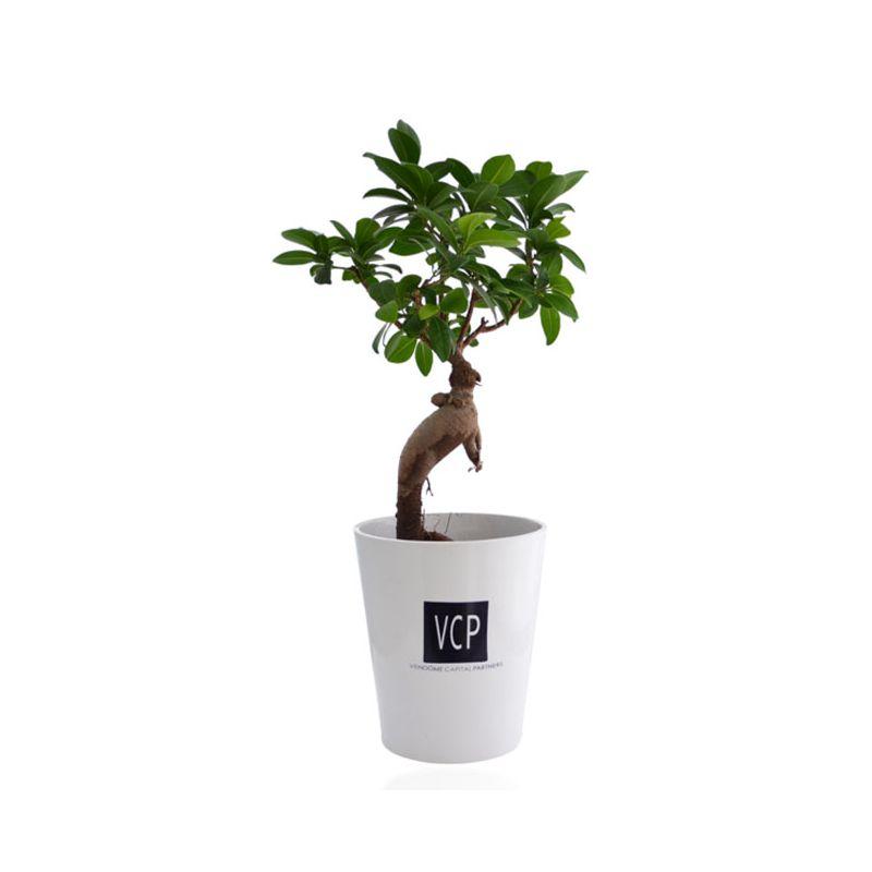 Ficus Ginseng en pot ceramique 7 cm - plante personnalisable