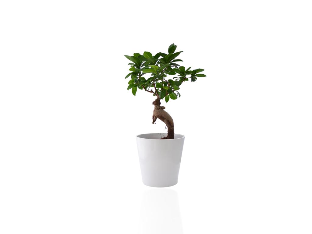 Plante publicitaire - Ficus Ginseng en mini pot ceramique
