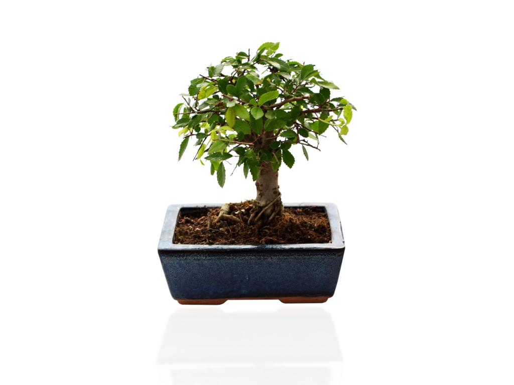 Bonsaï 2 - plant d'arbre publicitaire