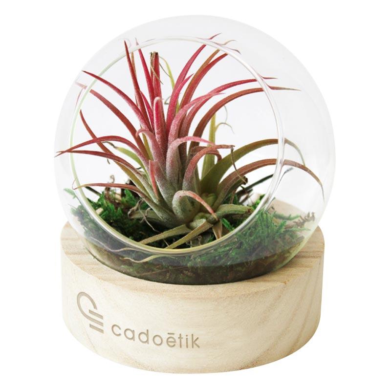 Terrarium publicitaire - plante publicitaire sous globe verre Tillandsia
