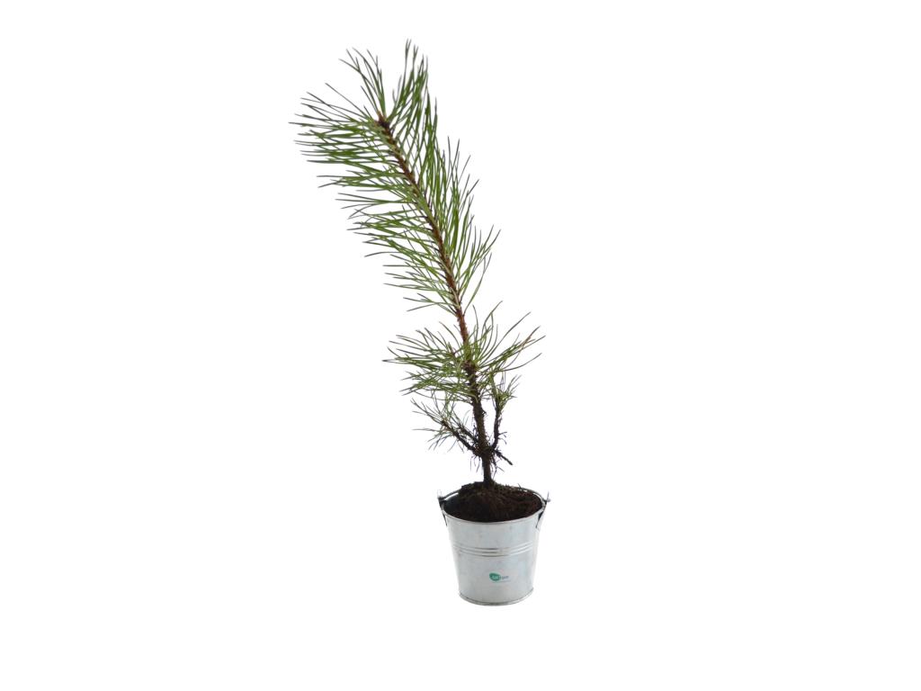 Plant d'arbre publicitaire résineux en pot zinc - Plante publicitaire