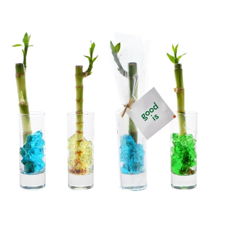 Bambou d'eau en vase individuel - goodies plante