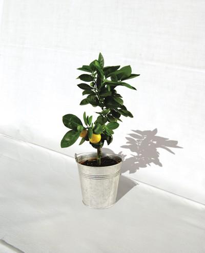 Plante publicitaire décorative -Oranger  pot de 14/15 cm en zinc ou osier