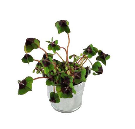 Trèfle à 4 feuilles en pot de 6,5 cm de diamètreplante publicitaire Trèfle à 4 feuilles - cadeau publicitaire