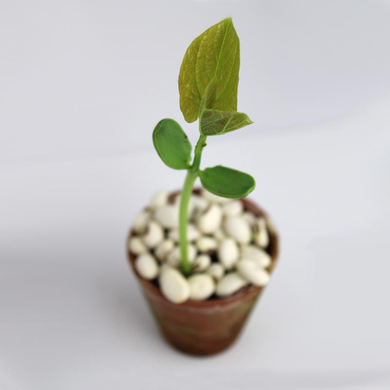 graines publicitaires haricots à semer