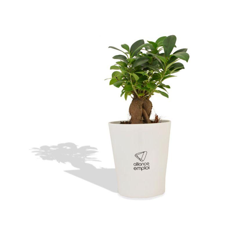 cadeau d'entreprise végétal - Ficus Ginseng en pot ceramique 10 cm