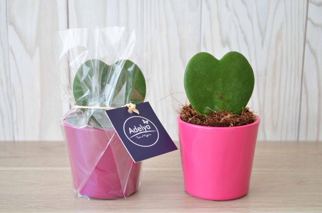 Hoya - plante personnalisable