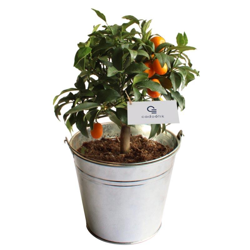 Plante publicitaire décorative - Oranger  pot de 14/15 cm en zinc ou osier