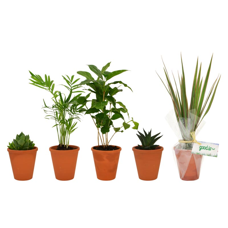 Plante  dépolluante Pot terre cuite 10 cm