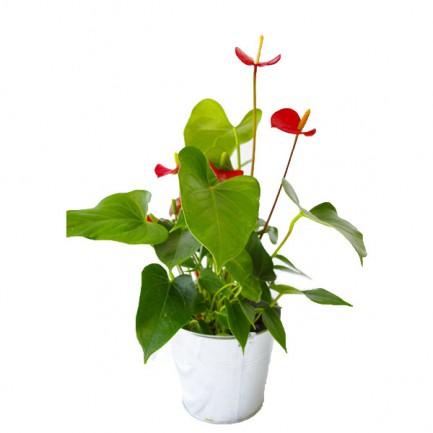 Grande plante déco - objet publicitaire végétal