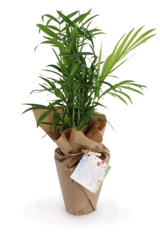 Plante Palmier personnalisable entourée de papier kraft