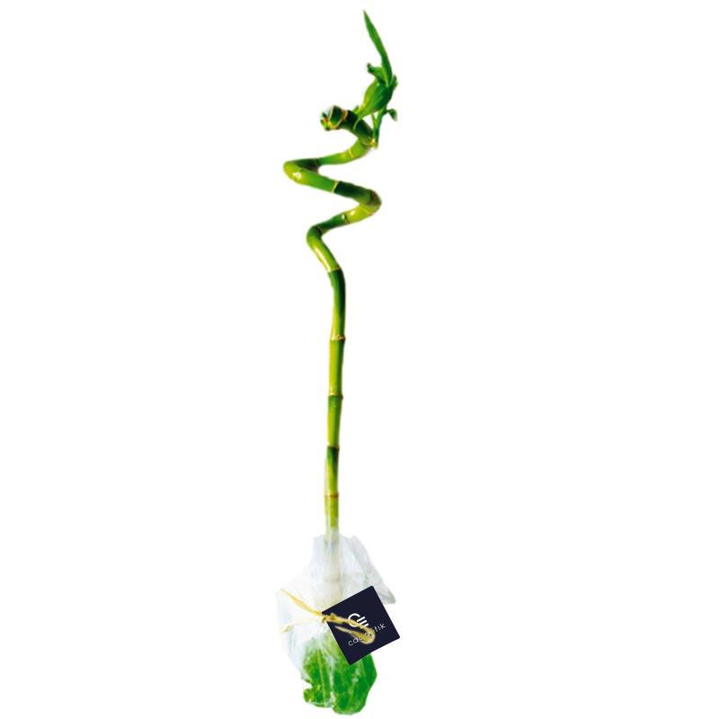 Canne chinoise torsadée 30 cm - cadeau publicitaire végétal