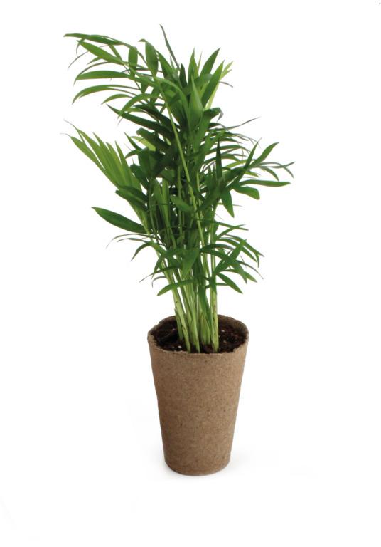 Plante publicitaire Palmier avec pot biodégradable