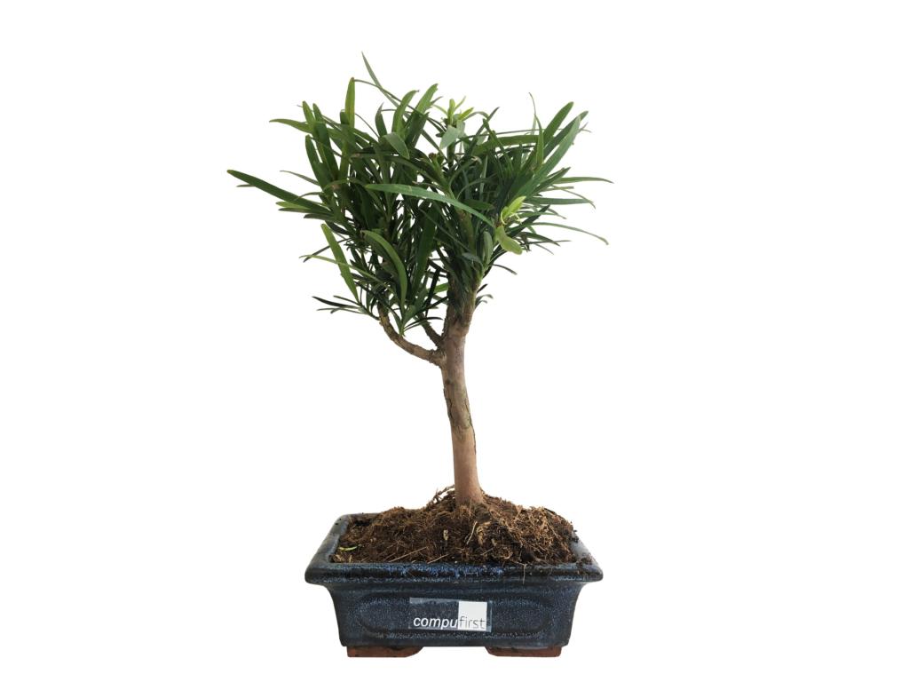 Bonsaï publicitaire - cadeau d'entreprise végétal