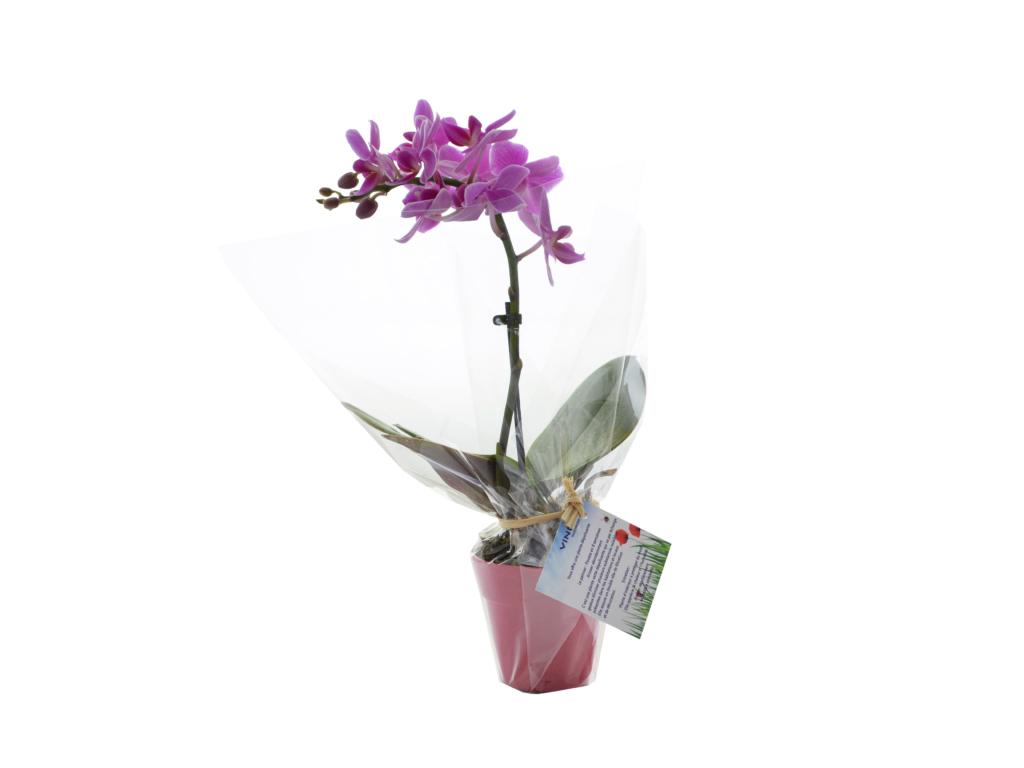 Orchidée petit modèle - plante personnalisable