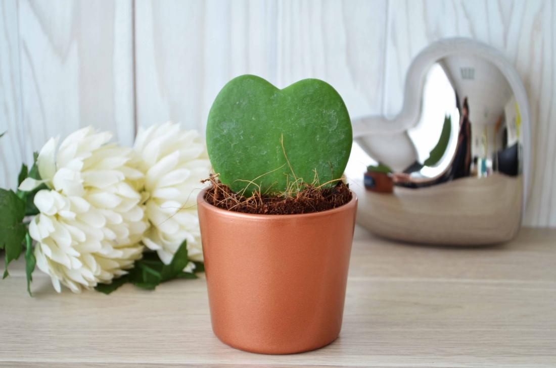 Hoya - plante personnalisée