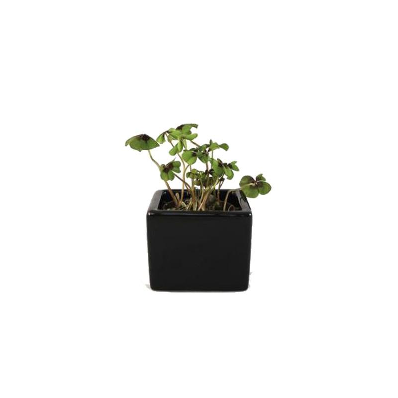 plante publicitaire - Trèfle à 4 feuilles en pot ceramique 7,5x7,5 cm