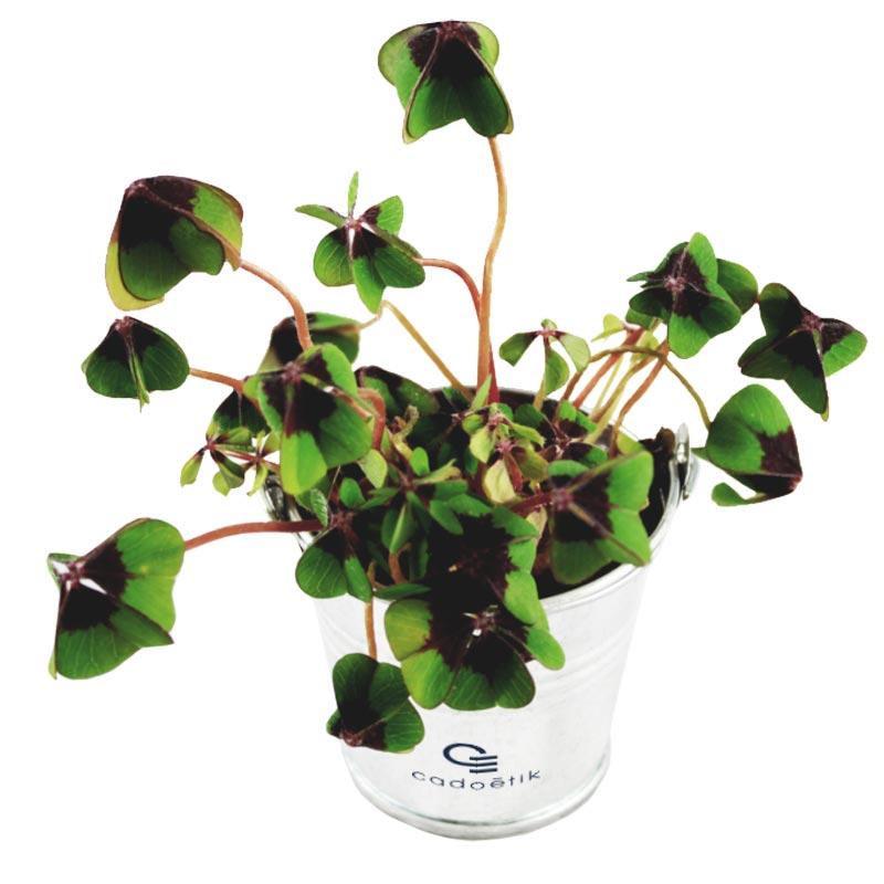 Trèfle à 4 feuilles en pot de 6,5 cm de diamètre - cadeau publicitaire