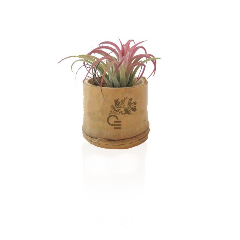 Tillandsia en pot bambou
