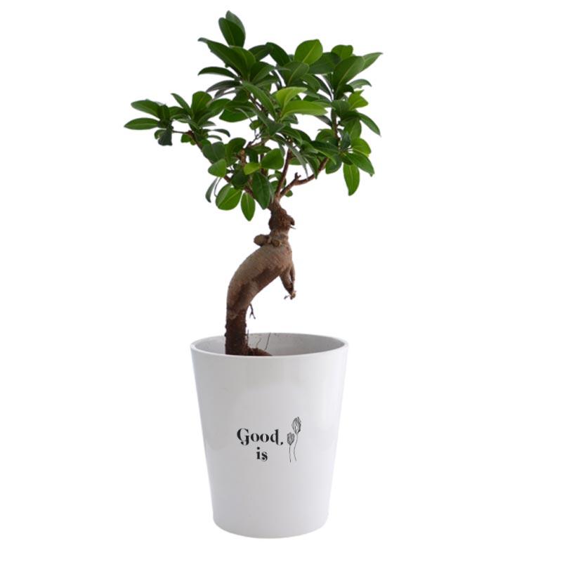 Plante verte publicitaire Ficus Ginseng