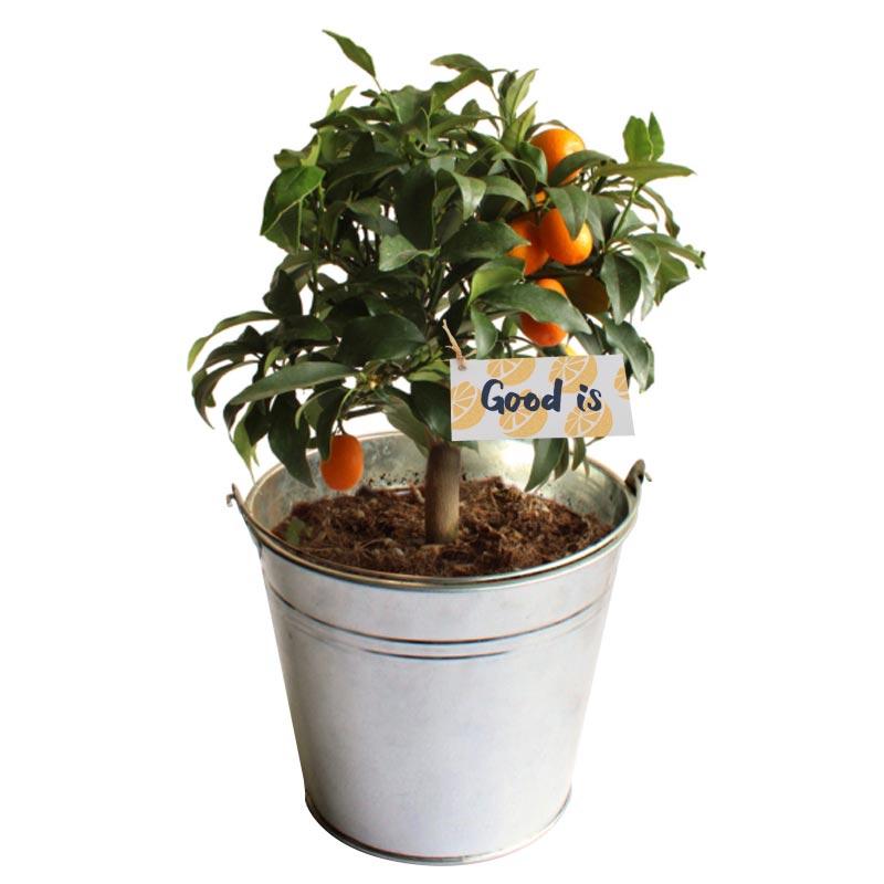 Goodies plante oranger - pot de 14/15 cm en zinc ou osier