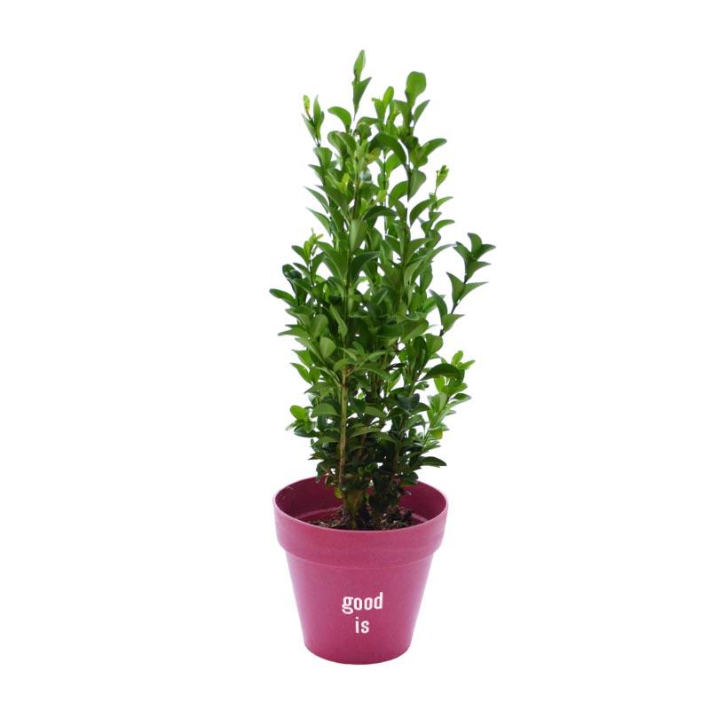 Plante d'arbre Prestige dans pot biodégradable