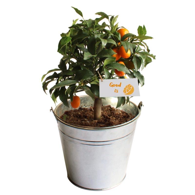Oranger publicitaire - pot de 14/15 cm en zinc ou osier