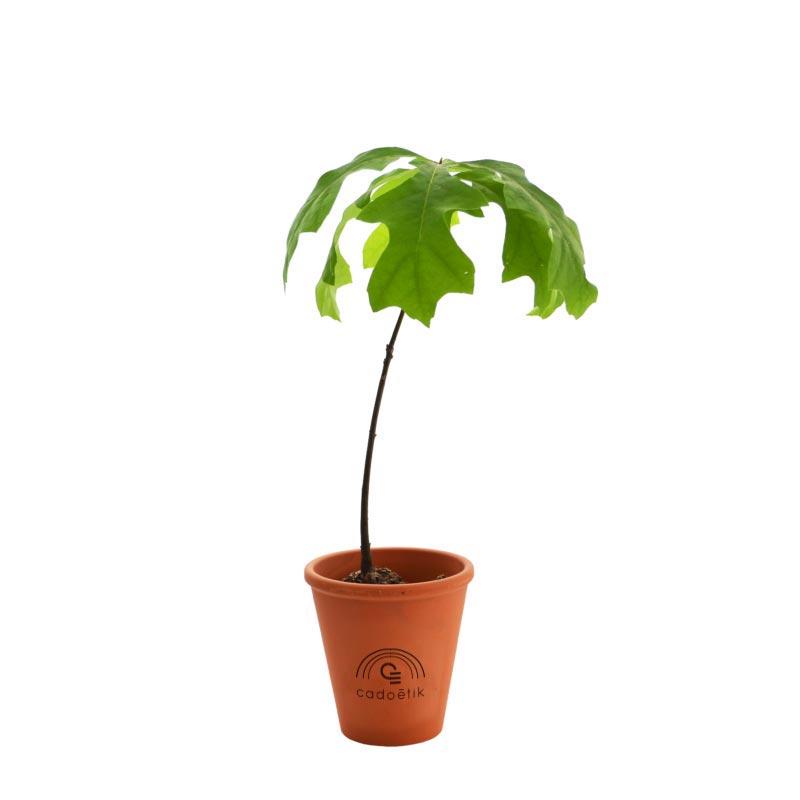 Plant arbre en pot terre cuite - Feuillus
