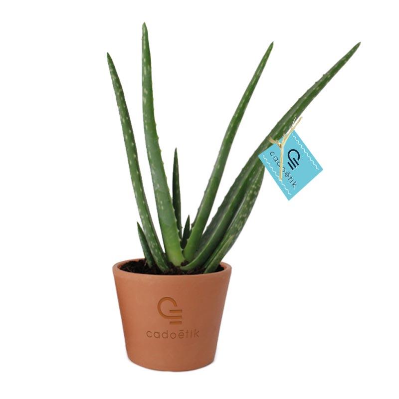 Plante publicitaire Aloé Vera - Pot terre cuite