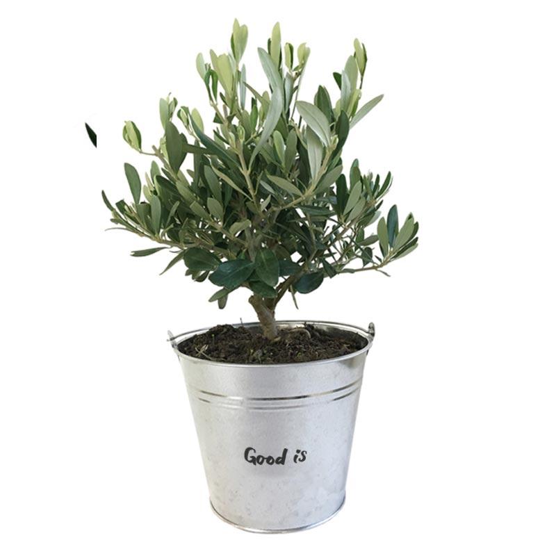 goodies plante - plant Olivier pot osier ou zin
