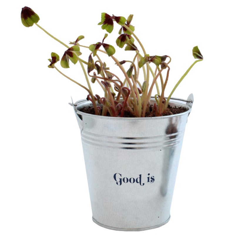 Trèfle à 4 feuilles en pot de 6,5 cm de diamètre - plante publicitaire