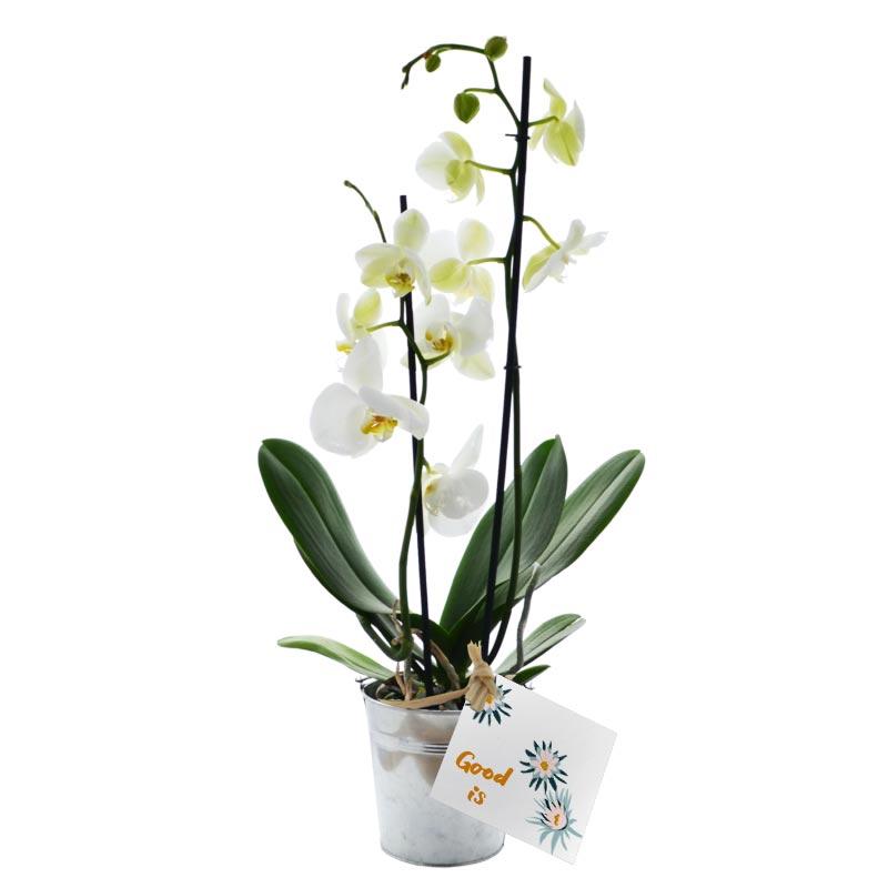 Plante publicitaire Orchidée