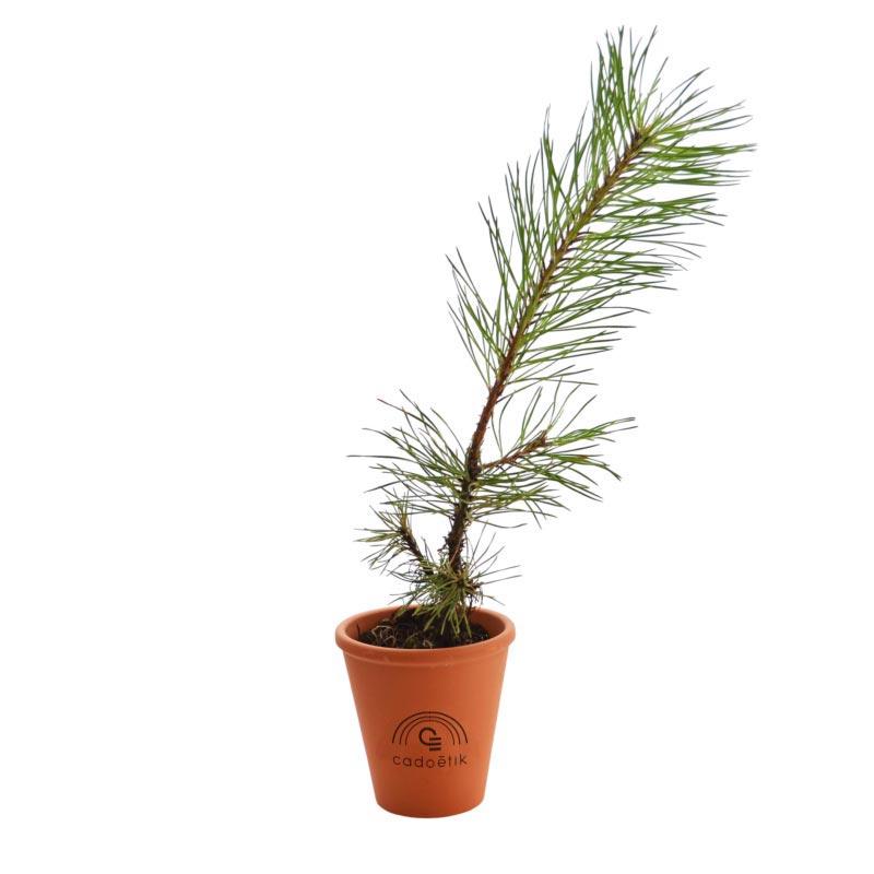 Plant arbre en pot terre cuite - Résineux