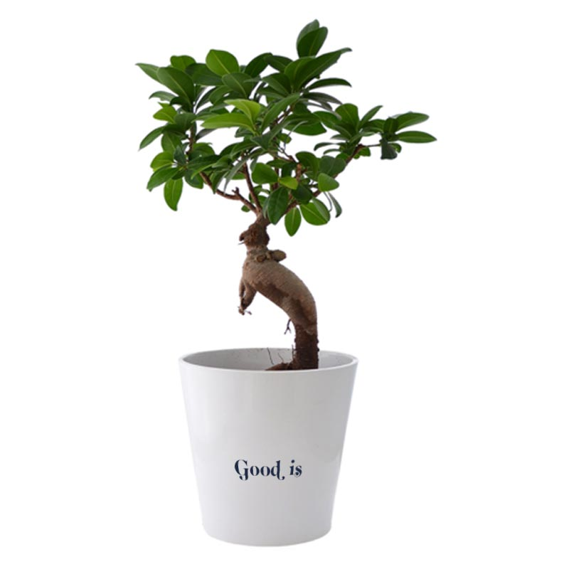 Ficus Ginseng dans un pot en céramique