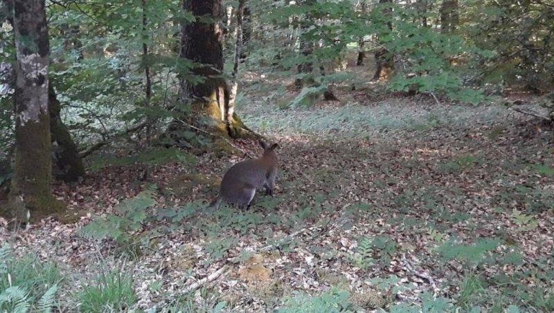 VIDÉO. En Loire-Atlantique, un wallaby aperçu en forêt du Gâvre