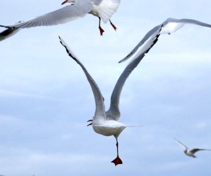 Meeting aérien chez les mouettes ! -   le blog alain Barré