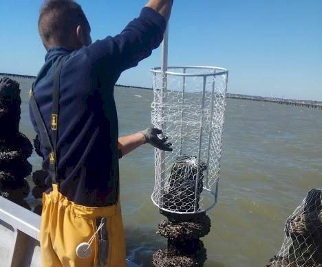Des filets bio-compostables en test sur les moules de La Plaine sur Mer