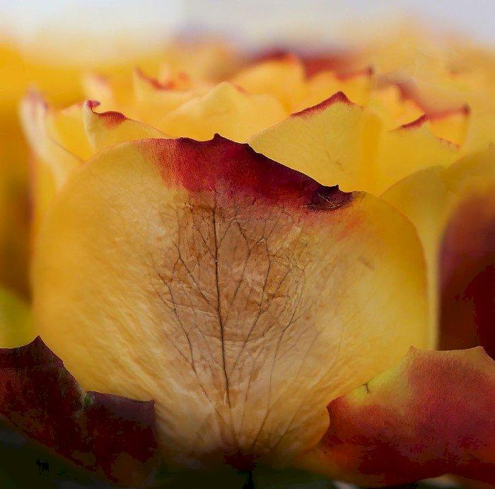 Rose flétrie -   le blog alain Barré