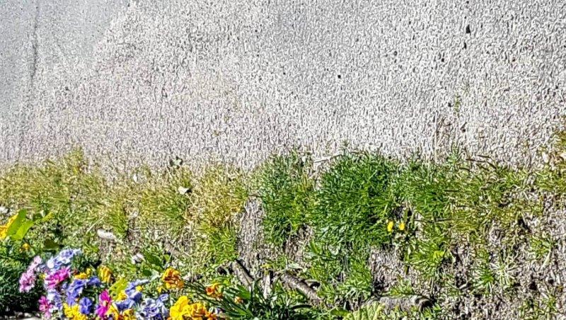 Pornic. Pour la biodiversité, les trottoirs se mettent au vert