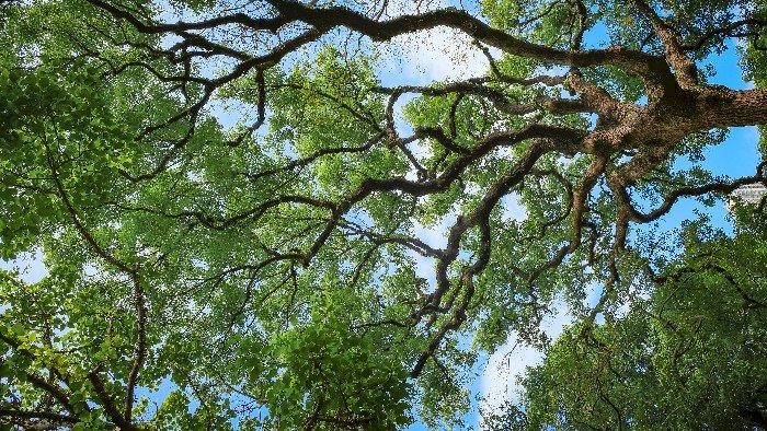 Casson : Le parcours des chênes à découvrir ou redécouvrir