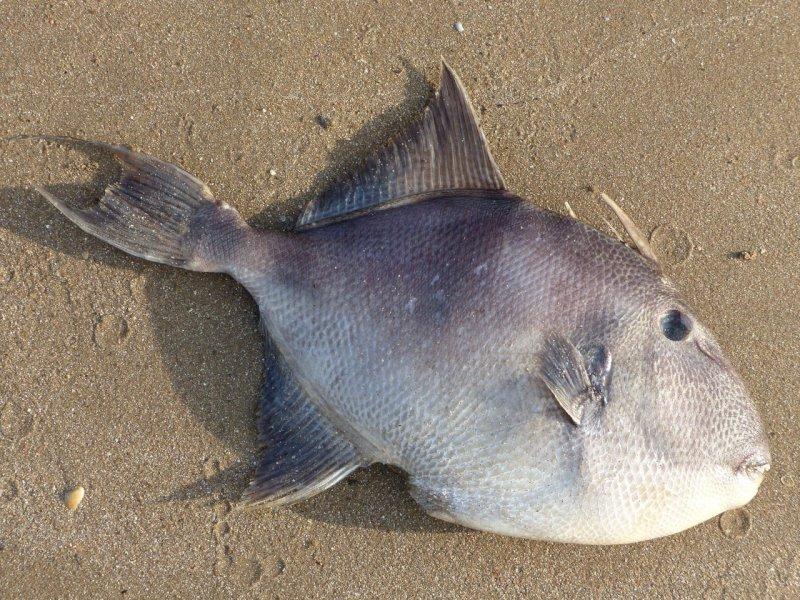 Que fait ce poisson échoué sur une plage de Pornic ?