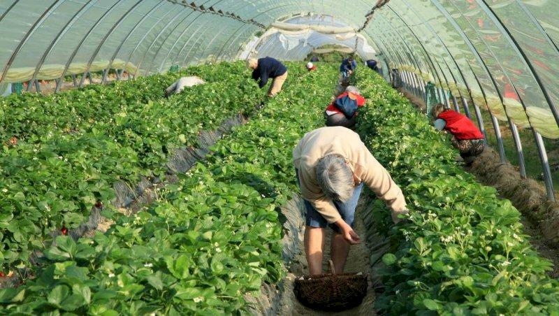 Coronavirus. Loire-Atlantique : les producteurs de fraises se mettent au drive   Presse Océan