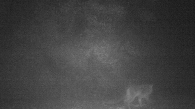 PHOTO - Un loup a-t-il été repéré dans la plaine de la Gardonnenque ?