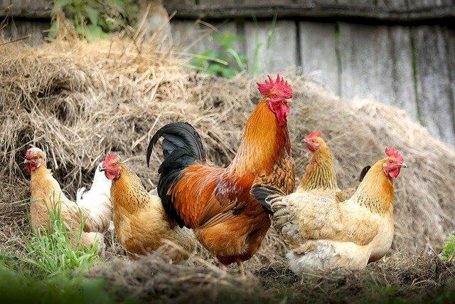 """Actuellement, la Loire-Atlantique est placé en risque """"élevé"""" pour la propagation de l' influenza aviaire."""