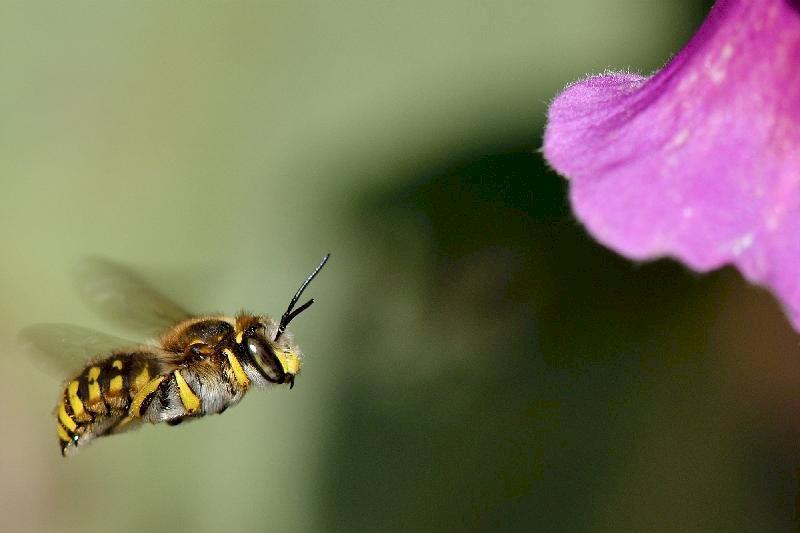Au secours des abeilles sauvages!