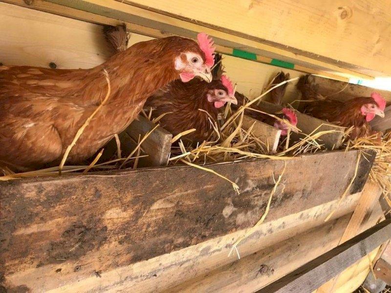 Sauvetage de poules rousses